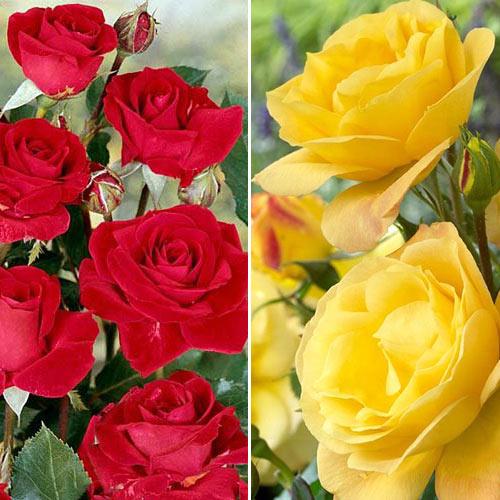 Роза катерлива Yellow