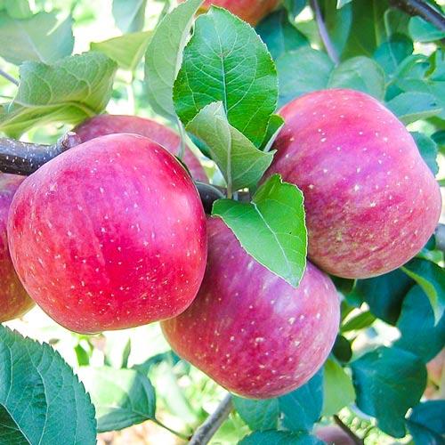 Ябълка Fuji