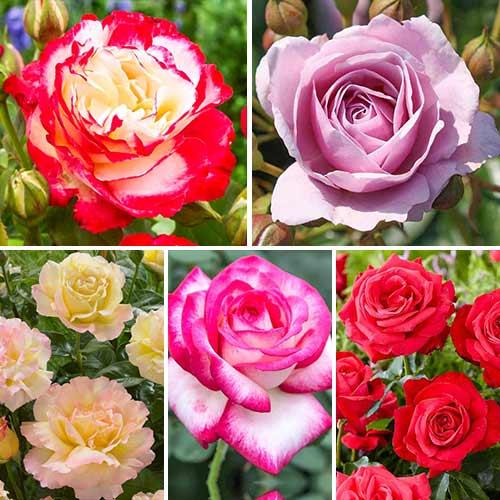 Супер предложения! Комплект едроцветни рози Perfume, 5 разсада изображение 1 артикул 3692