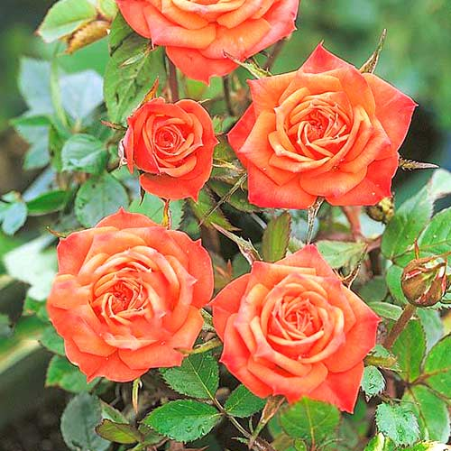 Роза чаен хибрид Orange minі изображение 1 артикул 3681