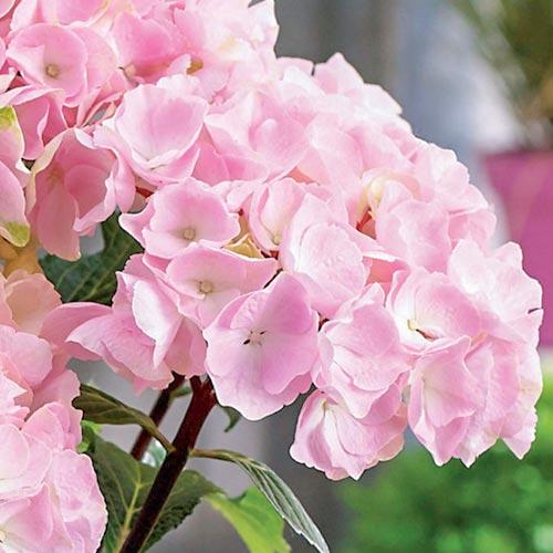Хортензия едролистна Pink изображение 2 артикул 9174