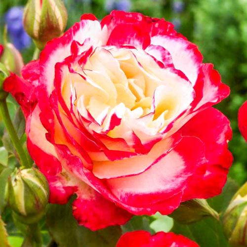 Роза чаен хибрид Double Delight