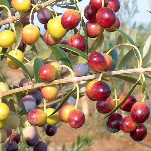 Маслина дърво Piqual изображение 1 артикул 7965