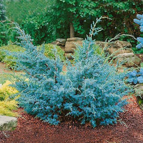 Хвойна Blue Alps изображение 1 артикул 9456