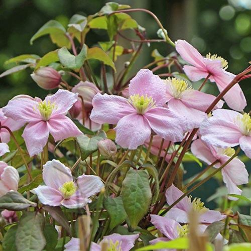 Клематис Grandiflora изображение 1 артикул 9052