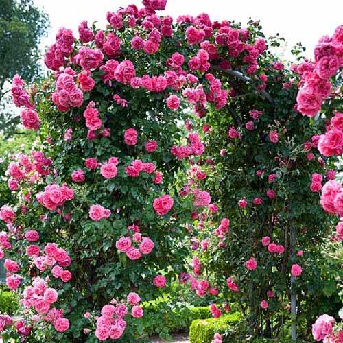 Роза катерлива Indigoletta изображение 1 артикул 2164