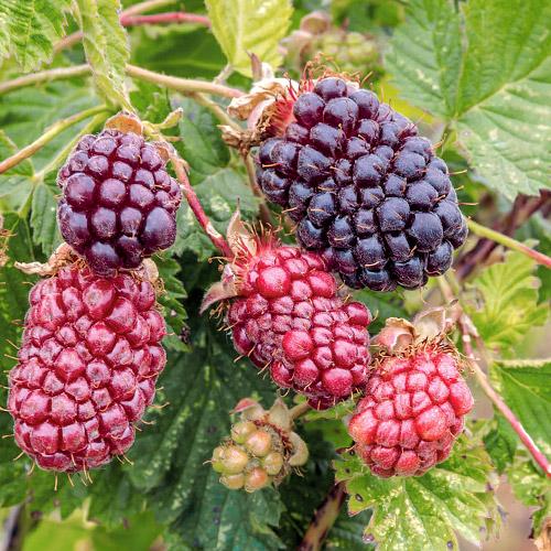Френско грозде черно Titania