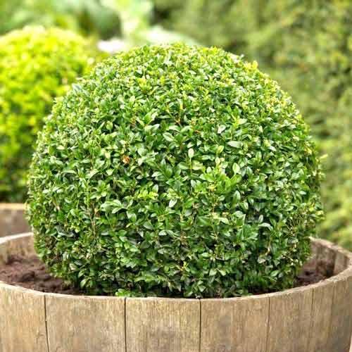 Чемшир вечнозелен изображение 1 артикул 9093