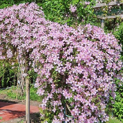 Клематис Grandiflora изображение 2 артикул 9052
