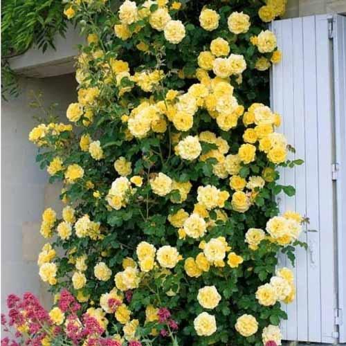 Роза катерлива Golden Showers