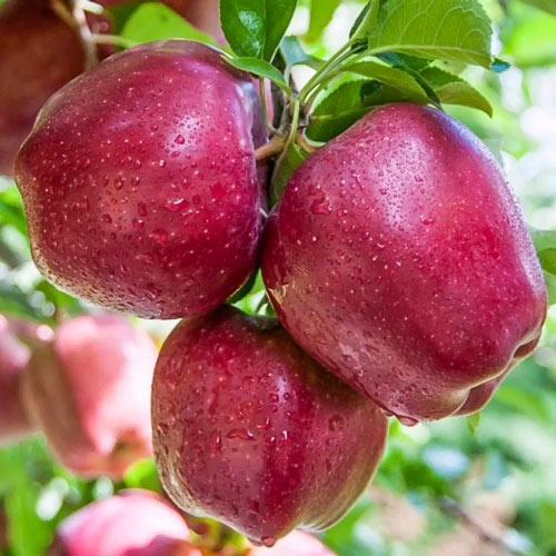 Ябълка Red Shar