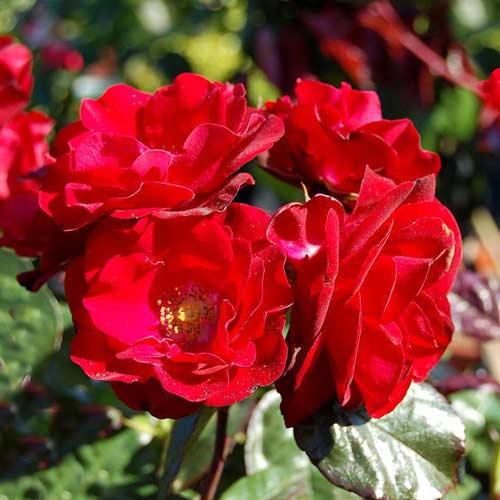 Роза флорибунда Europana