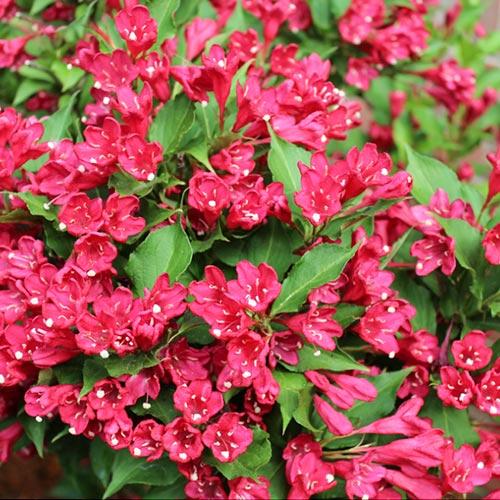 Вайгела Newport Red изображение 1 артикул 9194