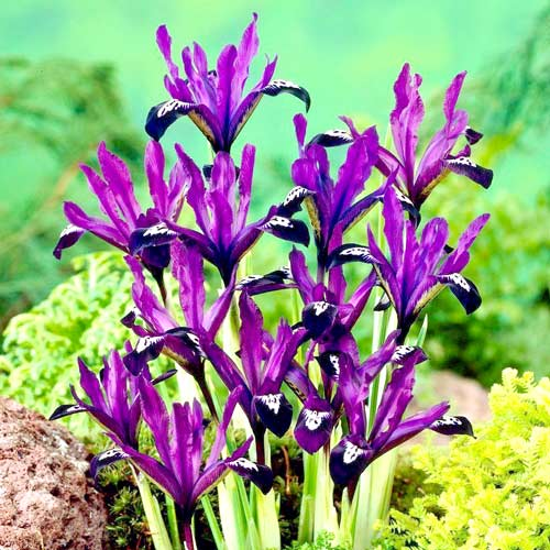 Ирис Purple Gem