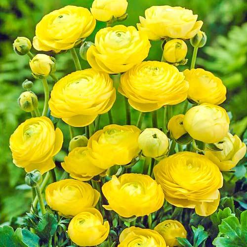 Лютиче (лютик) Yellow изображение 1 артикул 67280