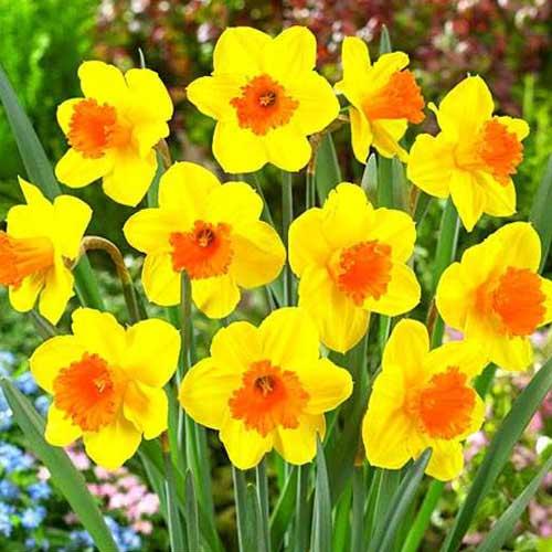 Нарцис Pimpernel изображение 1 артикул 70282