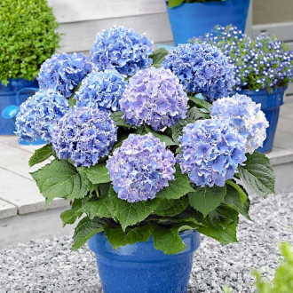 Хортензия eдролистна Blue изображение 3