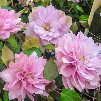 Клематис Violet Elizabeth изображение 3