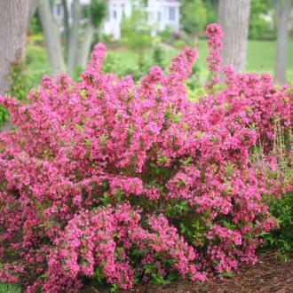 Вайгела Bouquet Rose изображение 2