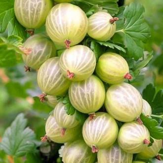 Цариградско грозде Biały Triumf изображение 8
