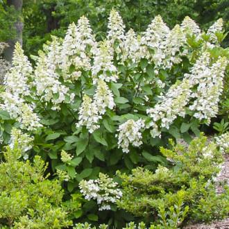 Хортензия метличеста Grandiflora изображение 7