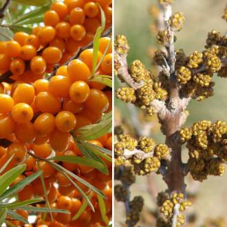 Ракитник (облепиха) Оранжева сила: мъжко (1)+ женско (1) изображение 2
