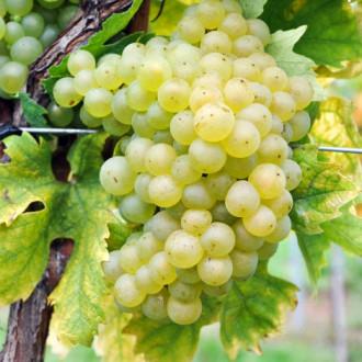 Грозде Sauvignon Blanc изображение 5
