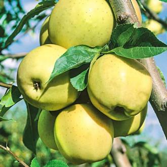 Ябълка Golden Super изображение 2