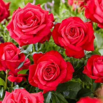 Роза чаен хибрид Dama de Coure изображение 7