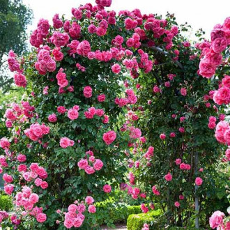 Роза катерлива Indigoletta изображение 4