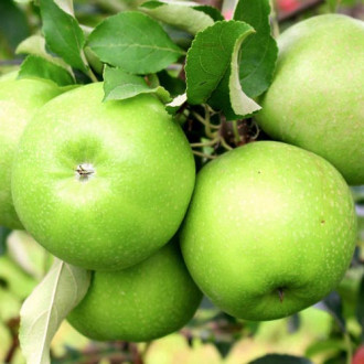 Ябълка Granny Smith изображение 3