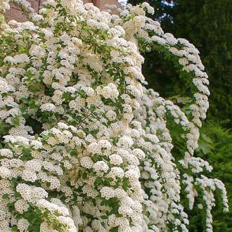 Спирея японска June Bride изображение 1