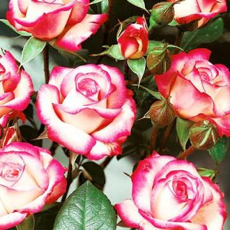 Роза флорибунда Pink & White изображение 8