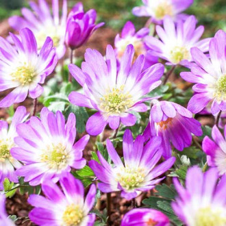 Анемония Blanda Pink Star изображение 3