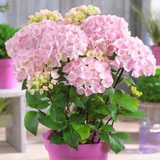 Хортензия едролистна Pink изображение 3