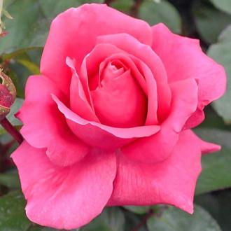 Роза чаен хибрид Cryterion изображение 5