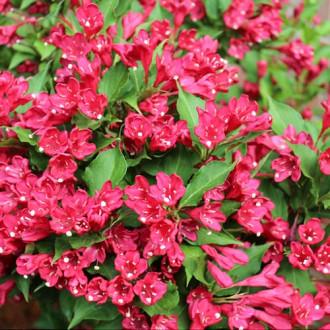 Вайгела Newport Red изображение 1