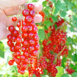 Френско грозде червено Rolan изображение 8