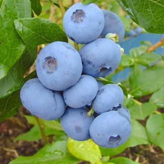Боровинка синя Bonus изображение 3