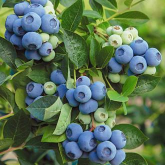 Боровинка синя Denis Blue изображение 6