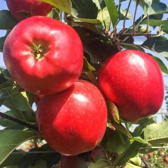 Ябълка Gala Lord изображение 2