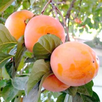 Райска ябълка Rojo Brillante изображение 2