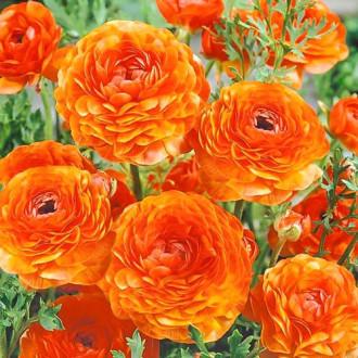 Лютиче (лютик) Orange изображение 2