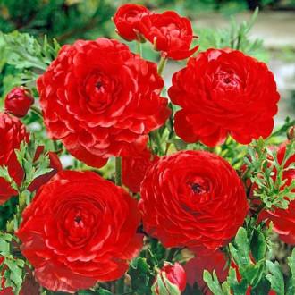 Лютиче (лютик) Red изображение 4