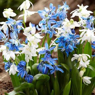 Синчец Spring Beauty изображение 4