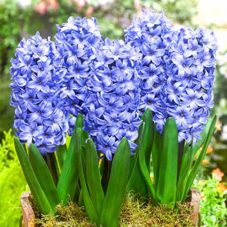 Зюмбюл Delft Blue изображение 1